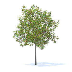 cherry tree 5 7m 3D model