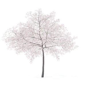 cherry tree 6 5m model