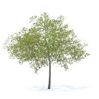 cherry tree 6 5m 3D model