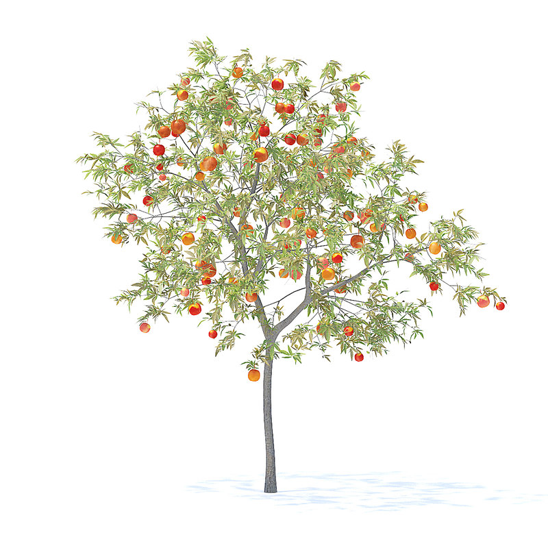 peach tree 3m 3D