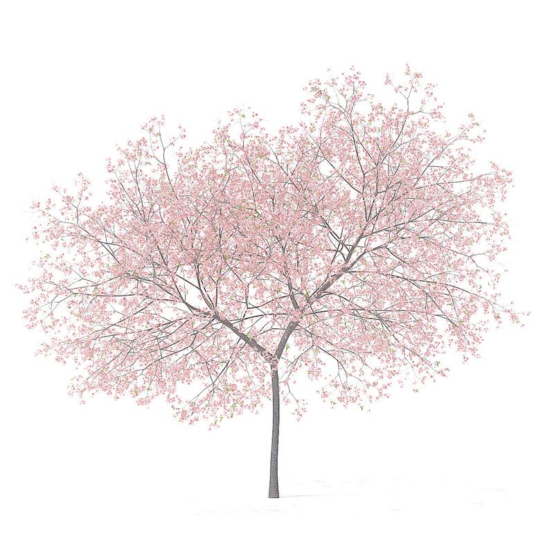 peach tree 5 8m 3D