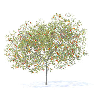 peach tree 5 8m 3D model