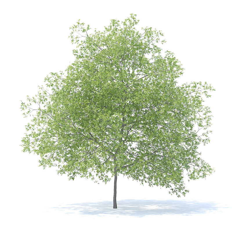 peach tree 7 5m 3D model