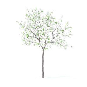 lemon tree 2 4m 3D