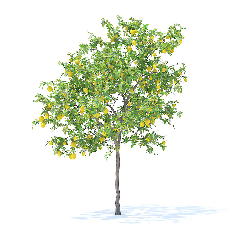 3D model lemon tree 3 1m
