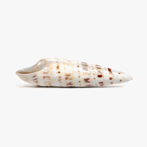 seashell pbr 3D model