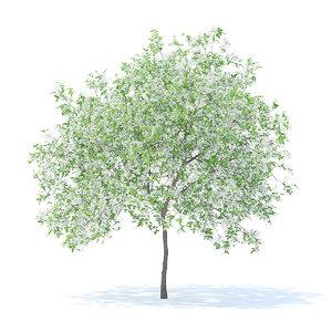 lemon tree 4 4m 3D model