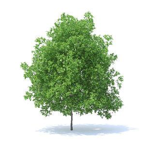 lemon tree 6m 3D model