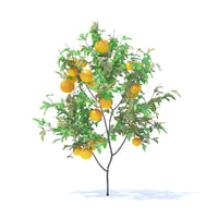 orange tree 1 6m 3D