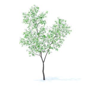 orange tree 3 4m 3D model