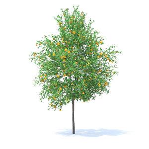 orange tree 6m 3D model