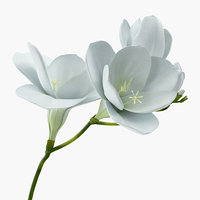 white freesia flower model