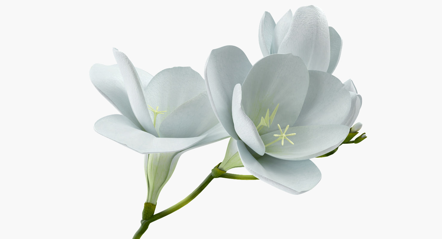 White freesia flower model turbosquid 1255821 white freesia flower model mightylinksfo
