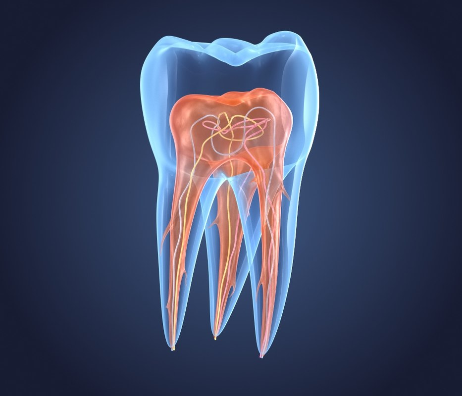 transparent teeth endodontics inner 3D model