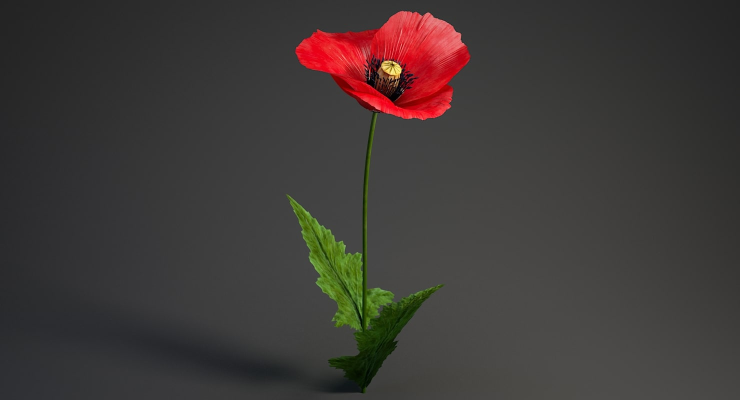 3D realistic poppy flower