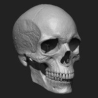 Human Skull Zbrush Model