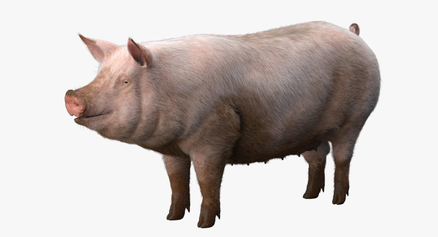 Pig 3D model - TurboSquid 1256092