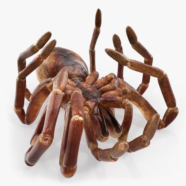 3D model goliath birdeater dead pose