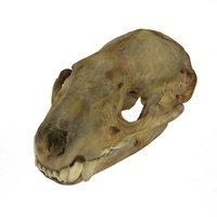 badger skull anatomy scan 3D model