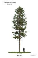 Pine tree_09