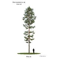 Pine tree_10