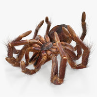 goliath birdeater dead pose 3D model