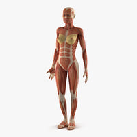 Anatomy Female Muscular System 3D Model