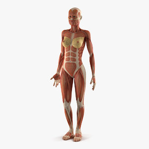 anatomy female muscular 3D model