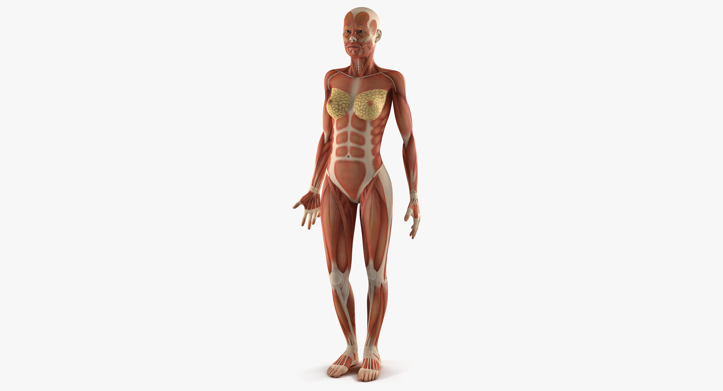 anatomy female muscular 3D model