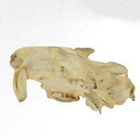 3D groundhog skull woodchuck