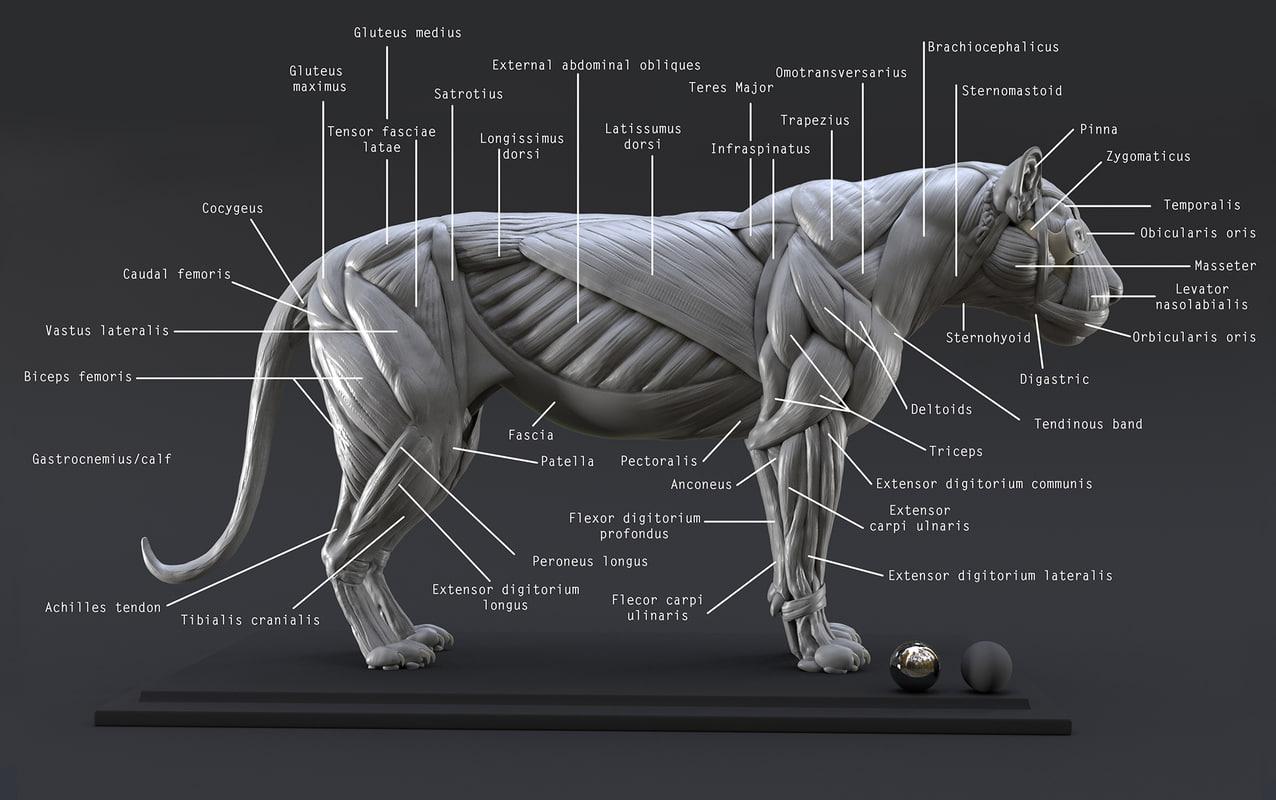 3D model digital lion ecorche study