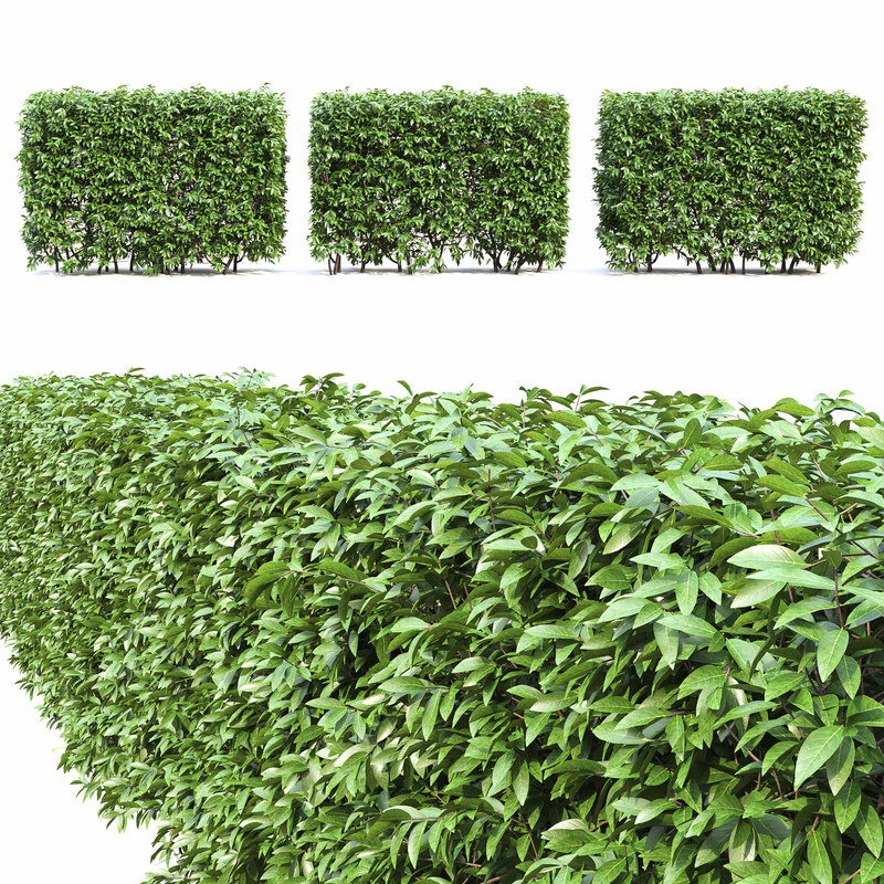 ligustrum lucidum hedge bush 3D model