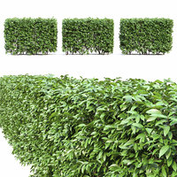 ligustrum lucidum hedge bush 3D model