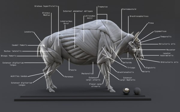 3D digital bison ecorche study