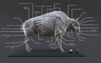 Bison Ecorche : Digital Model Muscles Study