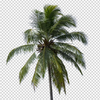 Isolated coconut tree 02