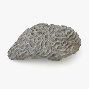 3d model of brain coral skeleton