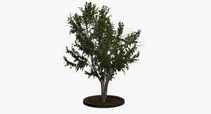 3D european white birch model
