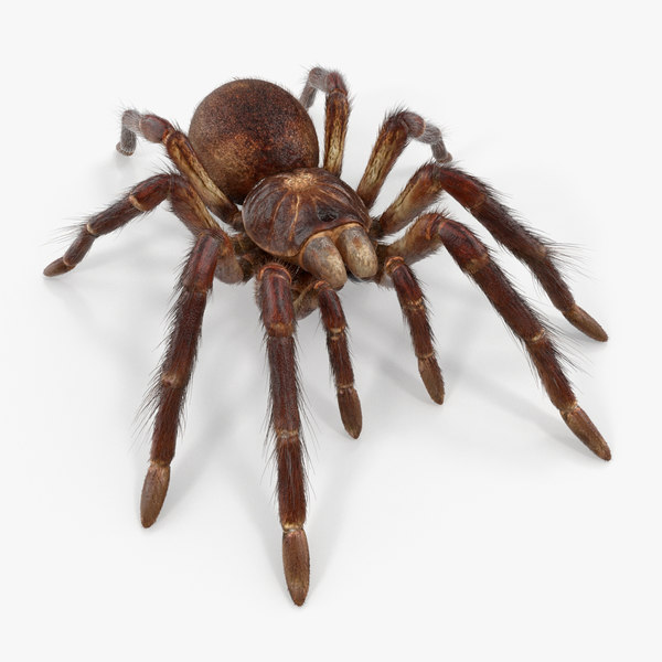 goliath birdeater fur rigged 3D model