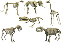african animal skeleton model