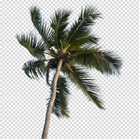 Isolated coconut tree 03