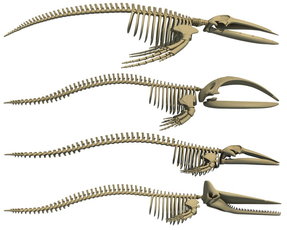 whale skeletons 3D model