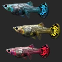 guppy fish 3D model