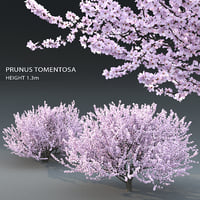 trees prunus 3D model