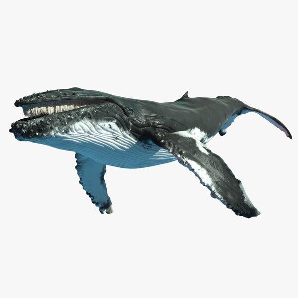 3d adult humpback whale rigged model