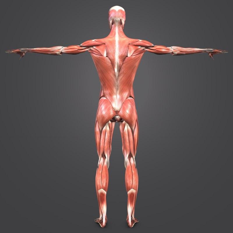 Muscular Human Body Muscles 3d Model Turbosquid 1268827