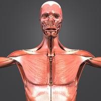 muscular human body muscles 3D model