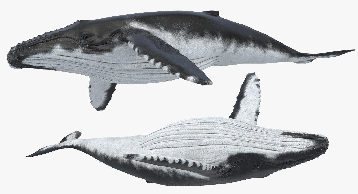 humpback whale rigged 3d model