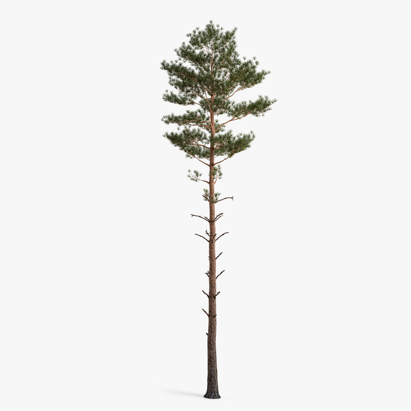pine 3D