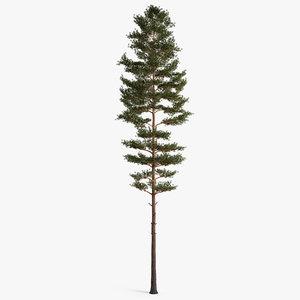 3D model pine